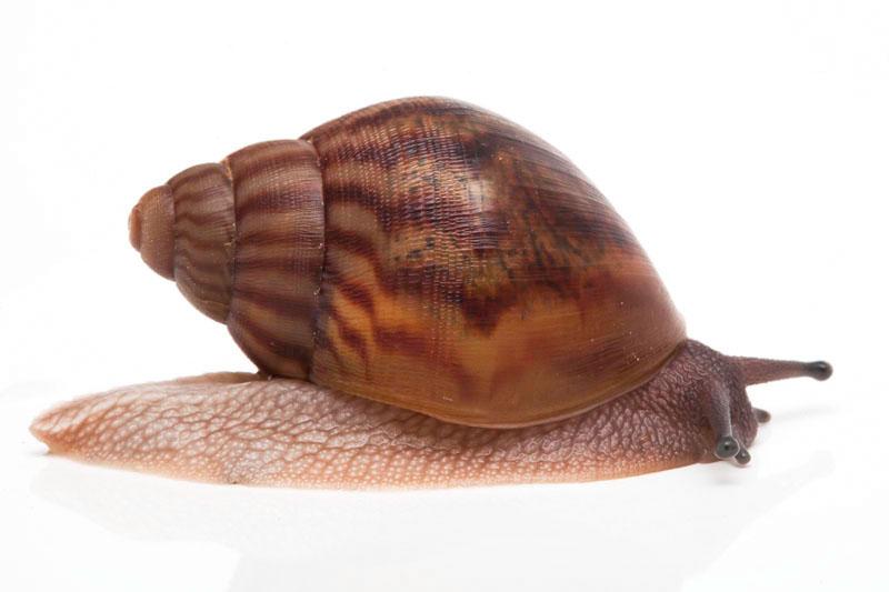 Zanzibar Snails - Introdewcing ... The Zanzibar Snails