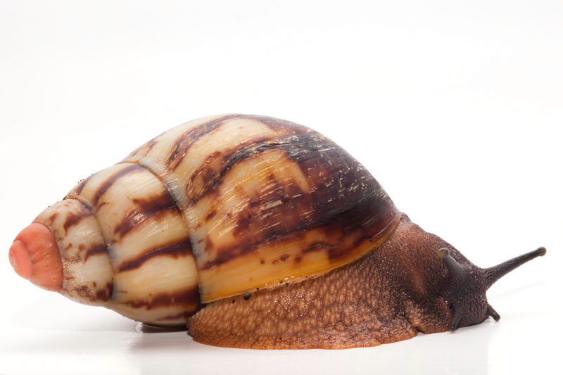 Archachatina marginata grevillei Cameroon striped adult