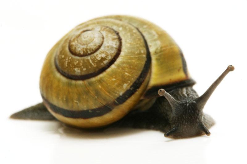 Zanzibar Snails - KRAKKATOWIAK