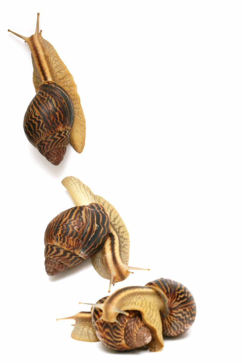 snail ahain varicoza)