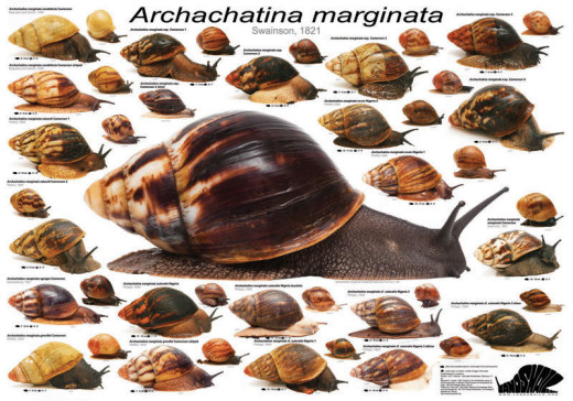 Poster of the species forms of Archachatina marginata.